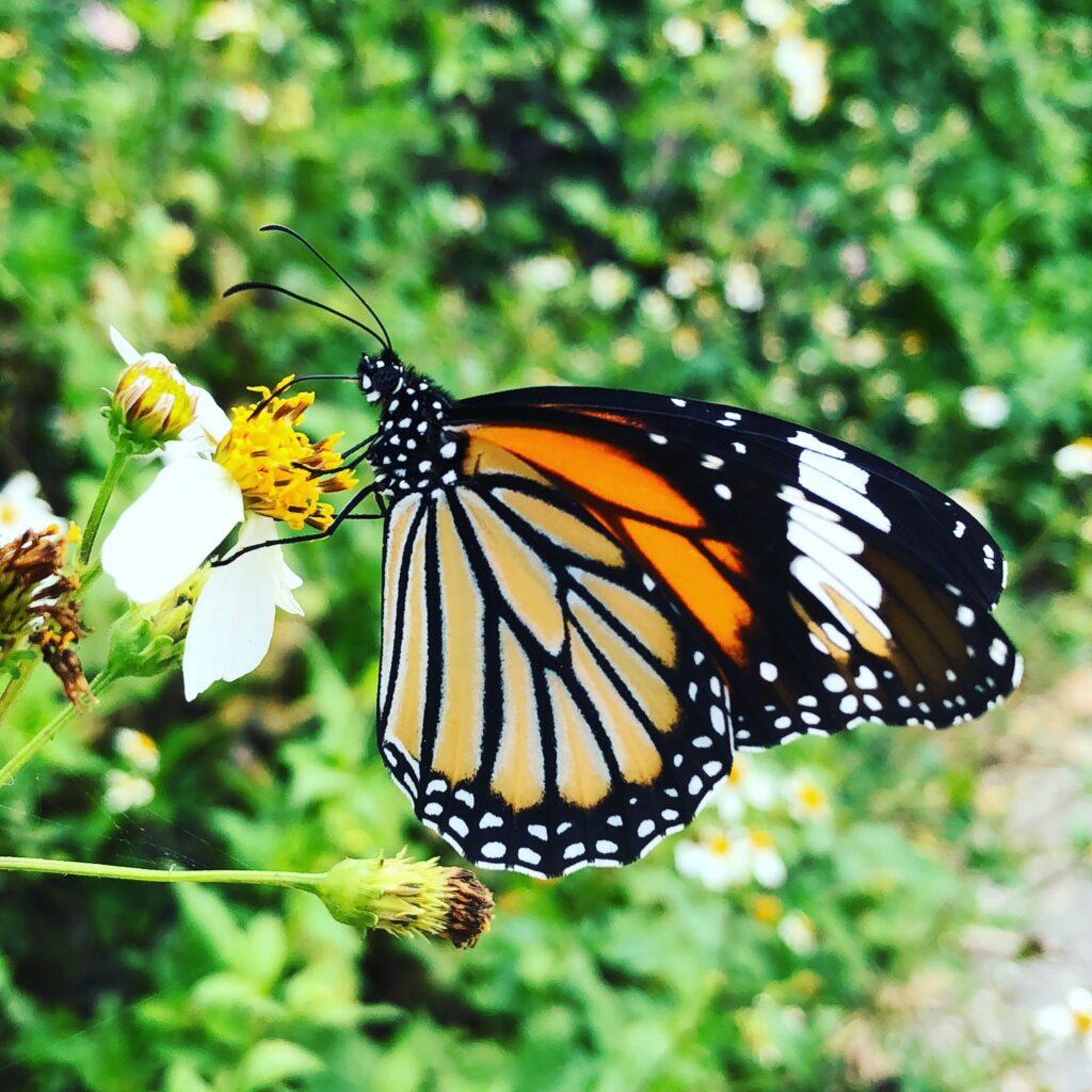 竹富島の蝶